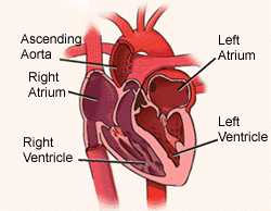 chickscope 1.5: explore: embryology: day 2 - the heart of the, Muscles